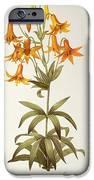 Lilium Penduliflorum IPhone Case by Pierre Joseph Redoute