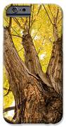 Maple Tree Portrait IPhone Case by James BO  Insogna