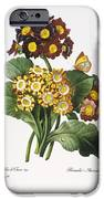 Redoute: Auricula, 1833 IPhone Case by Granger