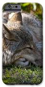 Sleeping Timber Wolf IPhone Case by Michael Cummings
