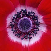 Anemone Coronaria Harmony Scarlet Flower Poster by Tim Gainey