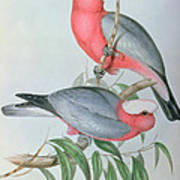 Birds Of Asia Poster by John Gould