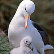 Black-browed Albatross With Chick Poster by Art Wolfe