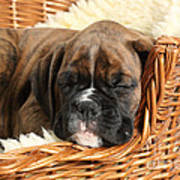 Boxer Puppy Poster by Mark Taylor