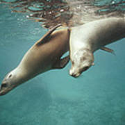 California Sea Lions Playing Sea Poster by Tui De Roy