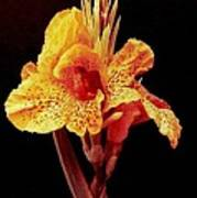 Canna Lilly Poster by Michael Hoard