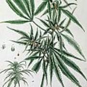 Cannabis  Poster by Elizabeth Blackwell