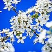Cherry Blossom With Blue Sky Poster by Raimond Klavins