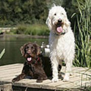 Chocolate And Cream Labradoodles Poster by John Daniels