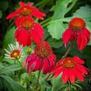 Coneflowers Echinacea Red  Poster by Rich Franco