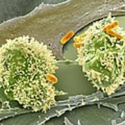 Dividing Cancer Cell, Sem Poster by Science Photo Library