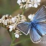 Eastern Baton Blue  Poster by Amos Dor