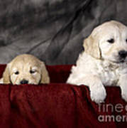 Golden Retriever Puppies Poster by Angel  Tarantella