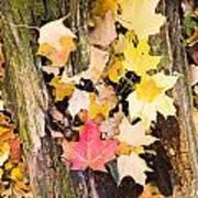 Maple Leaves Poster by Steven Ralser