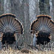 Jake Eastern Wild Turkeys Poster by Linda Freshwaters Arndt