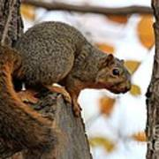 Eastern Fox Squirrel Poster by Jack R Brock