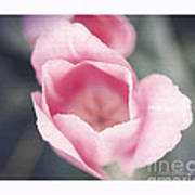 Pink Tulip  Poster by Artist and Photographer Laura Wrede