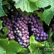 Pinot Gris Grapes Poster by Kevin Miller