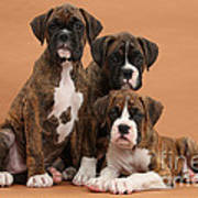Three Boxer Puppies Poster by Mark Taylor