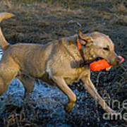 Yellow Labrador Poster by Linda Freshwaters Arndt