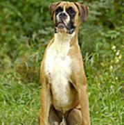 Boxer Dog Poster by Jean-Michel Labat
