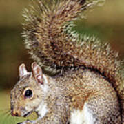 Eastern Gray Squirrel Poster by Millard H. Sharp