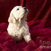 Golden Retriever Puppy Poster by Angel  Tarantella