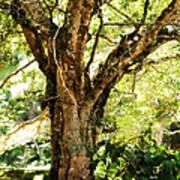Kingdom Of The Trees. Peradeniya Botanical Garden. Sri Lanka Poster by Jenny Rainbow
