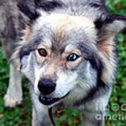 Miley The Husky With Blue And Brown Eyes Poster by Doc Braham