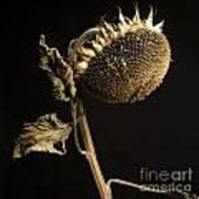Sunflower Poster by Bernard Jaubert