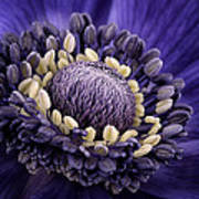 Anemone Poster by Mark Johnson