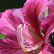 Bauhinia Blakeana - Hong Kong Orchid - Hawaiian Orchid Tree  Poster by Sharon Mau