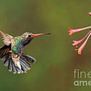 Broad Billed Hummingbird Poster by Scott Linstead