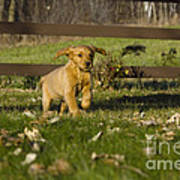 Golden Retriever Pup Poster by Linda Freshwaters Arndt