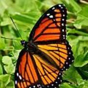 Monarch Butterfly Poster by Carol Toepke