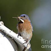 Eastern Bluebird Poster by Linda Freshwaters Arndt