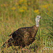Eastern Wild Turkey Poster by Linda Freshwaters Arndt