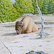 A Buffalo Sits In Yellowstone Poster by Michele Myers