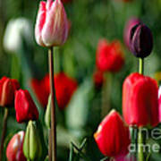 A Tapestry Of Tulips Poster by Nick  Boren