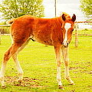 A Young Foal Poster by Jeff Swan