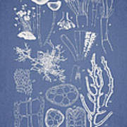 Acetabularia Caraibica And Chondria Intricata Poster by Aged Pixel