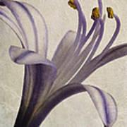 Agapanthus Africanus Star Poster by John Edwards