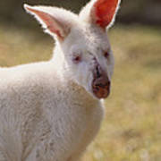 Albino Wallaby Poster by Art Wolfe