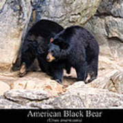 American Black Bear  Poster by Chris Flees