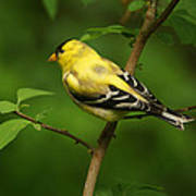 American Gold Finch Poster by Sandy Keeton