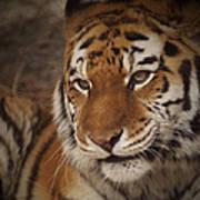 Amur Tiger 4 Poster by Ernie Echols