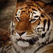 Amur Tiger Poster by Ernie Echols