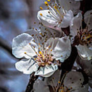 Apple Blossoms Poster by Robert Bales