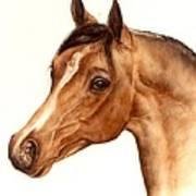 Arabian Horse Head Study Poster by Julia Sweda