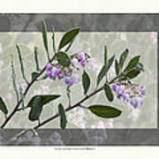 Arctostaphylos Manzanita 'monica' Poster by Saxon Holt